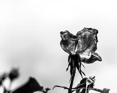 Finally Alone (walden.gothere) Tags: nikon nikond80 nikkor nikkor35mm nature nocolor colors f18 forest forêt flower france frenchphotographer black blackandwhite blackwhite bretagne bokeh bw dead alive alone 35mm 35mmf18 35 reflex rain white wild water lightroom life