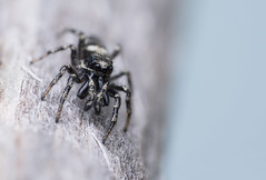 Salticus sp., male (Benjamin Fabian) Tags: salticus jumping spider jump spring spinne zebra salticidae salticid araneae chelicerat arthropod close up macro face cute portrait sony sel90