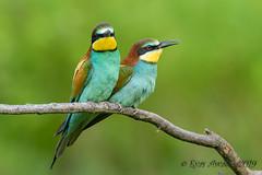 05062019-sDSC_7404 (Eyas Awad) Tags: eyasawad nikond800 nikond4 nikond500 sigma500f45 nikonafs300mmf4 tamron70200mmf28 nikkor200400mmf4 bird birds birdwatching wildlife nature gruccione meropsapiaster