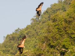 08062019-sDSC_9122 (Eyas Awad) Tags: eyasawad nikond800 nikond4 nikond500 sigma500f45 nikonafs300mmf4 tamron70200mmf28 nikkor200400mmf4 bird birds birdwatching wildlife nature grifone gypsfulvus