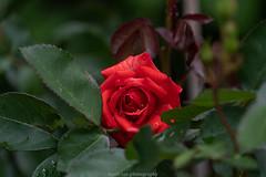 June Rose 2019 II (boettcher.photography) Tags: flower blume blossom blüte rose natur nature naturfotografie sashahasha boettcherphotography boettcherphotos juni june germany deutschland makro makrofotografie macro