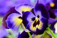 Vibrant pansies (moniquerebanks) Tags: pansies violen colourpalette garden garten tuin closeup nikond7100 colourful kleurrijk bloemen flowers blumen vibrant vibrance