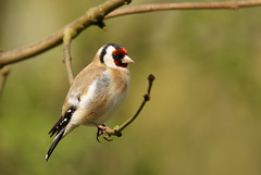 DSC09986 (simonbalk523) Tags: goldfinch birds wildlife wild nature animals sony tamron photography blashford lakes