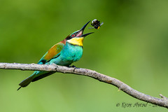 07062019-sDSC_8520 (Eyas Awad) Tags: eyasawad nikond800 nikond4 nikond500 sigma500f45 nikonafs300mmf4 tamron70200mmf28 nikkor200400mmf4 bird birds birdwatching wildlife nature gruccione meropsapiaster