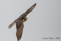 05062019-sDSC_7617 (Eyas Awad) Tags: eyasawad nikond800 nikond4 nikond500 sigma500f45 nikonafs300mmf4 tamron70200mmf28 nikkor200400mmf4 bird birds birdwatching wildlife nature lodolaio falcosubbuteo