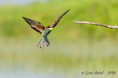 03062019-sDSC_6143 (Eyas Awad) Tags: eyasawad nikond800 nikond4 nikond500 sigma500f45 nikonafs300mmf4 tamron70200mmf28 nikkor200400mmf4 bird birds birdwatching wildlife nature gruccione meropsapiaster