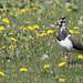 Northern Lapwing, Vanellus vanellus Ascanio_Herdla_Norway 199A1556
