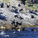 Shags and Razorbills Ascanio_Rost_Norway 199A3454