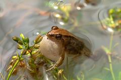 """The call to procreate"", Frog, Rapale, Nampula, Mozambique, Africa  ""O chamamento para procriar"", Rã, Rapale, Nampula, Moçambique, Africa (paulomarquesfotografia) Tags: the call procreate frog mozambique o chamamento para procriar rã rapale nampula moçambique africa k5 pentax fa 100mm f28 paulomarques macro fotografia photography agua water lago lake anfibio amphibian"
