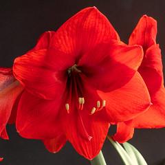 Amaryllis (berndkru) Tags: panasonicdcg9 leicadgmacroelmarit12845 amaryllis flowers blumen red rot schwarzerhintergrund blackbackground makro macro closeup