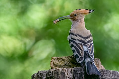 Upupa epops (Upupa, Hoopoe). (Ciminus) Tags: naturesubjects aves ornitology nature ciminus nikond850 ciminodelbufalo hoopoe upupa wildlife upupaepops oiseaux uccelli afsnikkor500mmf4gedvrii ornitologia birds