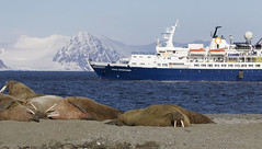 Ocean Adventurer and walruses Ascanio_Magdalena Fjord_Ascanio 199A8393 (David Ascanio (VENT & Ascanio Birding Tours)) Tags: ventbird victor emanuel nature tours david ascanio svalbard norway abtbirds