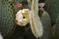 DSC_8713 (griecocathy) Tags: macro fleur cactus épines boutons gouttelette eau jaune vert crème rose