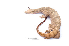 Varanus griseus (Matthieu Berroneau) Tags: sony alpha ff 24x36 macro nature wildlife animal fe sonya7iii sonya7mk3 sonyalpha7mark3 sonyalpha7iii a7iii 7iii 7mk3 sonyilce7m3 herp herping trip israel israël reptile reptilian reptilia lizard smaug dragon varan monitor 2470 mm f4 zeiss fe2470mmf4zeiss desert monitordesert du désert varandudésert koah afor koahafor wüstenwaran fond blanc white fondblanc highkey high key hybrid textbook fondo blanco fondoblanco