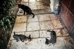 Surprise lunch (Melissa Maples) Tags: antalya turkey türkiye asia 土耳其 apple iphone iphonex cameraphone summer kittens animals kitties cats catfood eating akdenizsitesi meltem