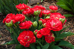 Pella Tulips 2019 (nikons4me) Tags: pellatulipfestival pella 2019 ia iowa nikond200 nikonafsdx18200mmf3556gifedvr flowers blooms spring