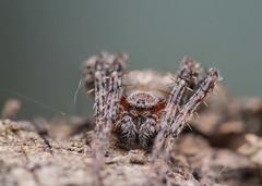 Araneidae (Benjamin Fabian) Tags: aranaeidae spinne kreuz spider araneae portrait arthropod chelicerat close up macro sony sel90