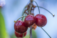 Cherries | IMGP3365 | Panagor Macro 90mm 1:1  f/2.8 PK (horschte68) Tags: cherry cherries kirschen rot red outside nature bokeh dof depthoffield panagormacro90mm11f28 pentaxkp manuallens manualfocus primelens composition wideopen offenblende tiefenschärfe schärfentiefe