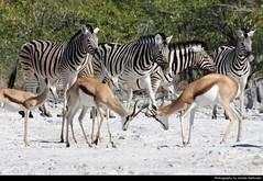 Zebras & Springboks, Etosha NP, Namibia (JH_1982) Tags: zebra zebras cebra zèbre 斑馬 シマウマ 얼룩말 зебры springbok springboks antidorcas marsupialis 跳羚 スプリングボック 스프링복 спрингбок fighting animal animals wildlife nature tier tiere waterhole goas natur etosha national park nationalpark np pn parque parc nacional etoscha 埃托沙國家公園 этоша namibia namibië 纳米比亚 ナミビア 나미비아 намибия
