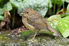 European Robin - Erithacus rubecula (Roger Wasley) Tags: european robin erithacusrubecula juvenile young bird gloucestershire