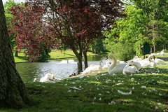 Bruges (rebeccahspear) Tags: park parkland canon river travel medieval belgium bruges break m3 lake heritage gardens foliage flowers europe swan birds