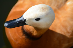 Огарь (Yuriy Kuzmenok) Tags: птицы птица природа утка утки зоопарк огарь