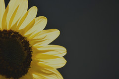 Sunrise (jeffr71) Tags: sunflower flower garden petals yellow bloom shadows minimalism light sunshine hope soft