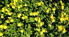 Morning primrose (ali eminov) Tags: wayne nebraska seasons spring plants flowers primroses morningprimrose
