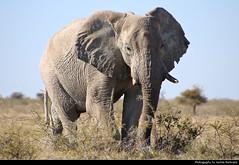 Elephant, Etosha NP, Namibia (JH_1982) Tags: african elephant elephants afrikanische elefant elefanten loxodonta éléphant dafrique 非洲象 アフリカゾウ属 아프리카코끼리속 африканские слоны animal animals wildlife nature tier tiere waterhole okerfontein natur etosha national park nationalpark np pn parque parc nacional etoscha 埃托沙國家公園 этоша namibia namibië 纳米比亚 ナミビア 나미비아 намибия