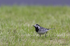 White Wagtail (Corine Bliek) Tags: motacillaalba bird birds vogel vogels birdphotography vogelfotografie wildlife nature natuur grass green