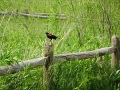"""What life expects of us is that we celebrate.""   - José Eduardo Agualusa (Trinimusic2008 -blessings) Tags: trinimusic2008 judymeikle nature fence hff june 2019 toronto to ontario canada redwingedblackbird"