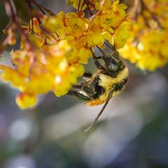 Taon sur ton (JardinsLeeds) Tags: macro proxy taon insecte insect horsefly nikond800e bokeh
