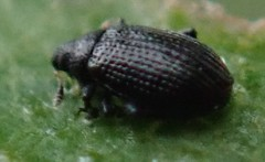 (1) (BSCG (Badenoch and Strathspey Conservation Group)) Tags: cnp june insect beetle curculionidae acm birch