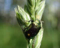 indet chrysomelidae (BSCG (Badenoch and Strathspey Conservation Group)) Tags: cnp june insect beetle chrysomelidae