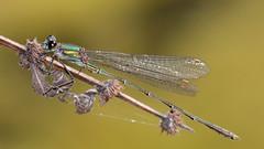 Weidenjungfer (Chalcolestes viridis) (Carsten Weigel) Tags: weidenjungfer chalcolestesviridis insekt insect libelle damselfly carstenweigel nikond5100
