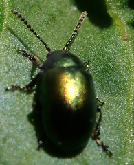 (2) cf Gastrophysa viridula  chrysomelidae chrysomelidae (BSCG (Badenoch and Strathspey Conservation Group)) Tags: cnp june insect beetle chrysomelidae