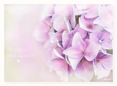 Te regalo una ilusión ❤ (c.ferrol) Tags: hortensia ilusión pastel suave soft illusion hydrangea malva pink