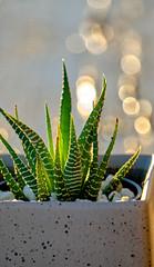 Morning Glory (59ling) Tags: sunrise cactus zebra plant haworthiopsis bokeh a6500 sony