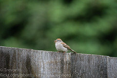 Gathering (Kenjis9965) Tags: sparrow avian bird nest material gathering sitting fence outside nature house sony a7iii sigma 150600mm f563 c contemporary 150600mmf563dgoshsm|c sonya7iii