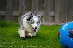 Ball 2 (Kenjis9965) Tags: dog cardigan welsh corgi corgo blue merle ball playing running bopping outside enjoying sony 70200mm f28 gm sony70200mmf28gm sonya7iii sel70200gm a7 iii