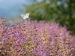 Tra i fiori di salvia (giansacca) Tags: fiori flowers fleurs fioritura lepidoptera lepidottero butterfly farfalla mariposa farfalle papillon id salvia