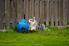 Ball 1 (Kenjis9965) Tags: dog cardigan welsh corgi corgo blue merle ball playing running bopping outside enjoying sony 70200mm f28 gm sony70200mmf28gm sonya7iii sel70200gm a7 iii