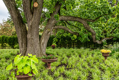 Big Ol' Bur Oak Tree in the Rose Garden (Jim Frazier) Tags: 2019 20190612cantignyphotowalk 2019cantignyphotowalks 3d3layer alone bark beautiful beauty botanic botanicgardens botanicalgardens branches buroak cantigny cantignypark class cloudy containers contentcontrast deepdepthoffield dupage dupagecounty flora gardens horticulture il illinois isolated jimfraziercom june landscape leaves lonetree lonely lonesome museums nature one overcast overhanging parks photoclass photography photowalk plants preserves publicgardens q3 rosegarden ruleofthirds scenery scenic single solitary summer texture training tree trees trunk volunteer volunteering wheaton wood woody workshop
