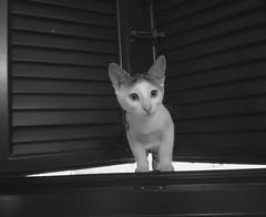 Nosy (Jojo Flow) Tags: cat babycat kat kitten nieuwsgierig nosy photography animalphotography