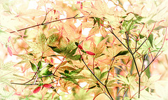 Maple Leaf Rag IMG_0010 (3Bs7Gs) Tags: leaves mapletreeleaves japanesemapleleaves japanesemaples adobecreativecloud vignette