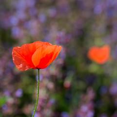 A poppy and a heart (giansacca) Tags: fiori flowers fleurs fioritura papavero poppy wildflowers salvia