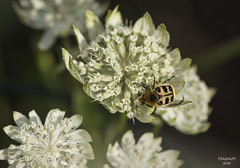 The Bug (eMMa_bOOm) Tags: trichiusfasciatus bug flower macro white nature natural insect wings beige black astrantiamajor garden green hairybug beetle hues whitegarden
