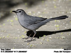 Gray Catbird (Bill.Thompson) Tags: graycatbird dumetellacarolinensis ri birds