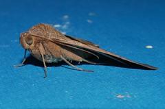 Teenas brown looper moth Mocis trifasciata Catocalinae Erebidae Teenas rainforest Airlie Beach P1070527 (Steve & Alison1) Tags: teenas brown looper moth mocis trifasciata catocalinae erebidae rainforest airlie beach