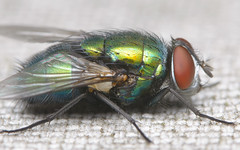 Fly (Rich Lukey) Tags: fly insect green bottle greenbottle bug nikon d7100 sigma 105mm flash extension achromat homemade diffuser